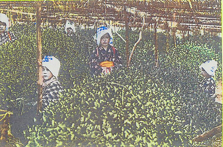 茶摘み絵葉書1