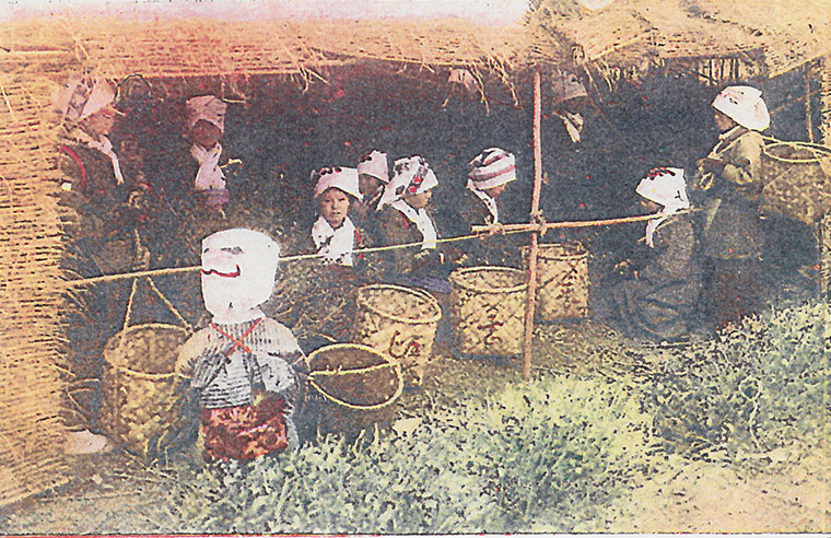 茶摘み絵葉書2